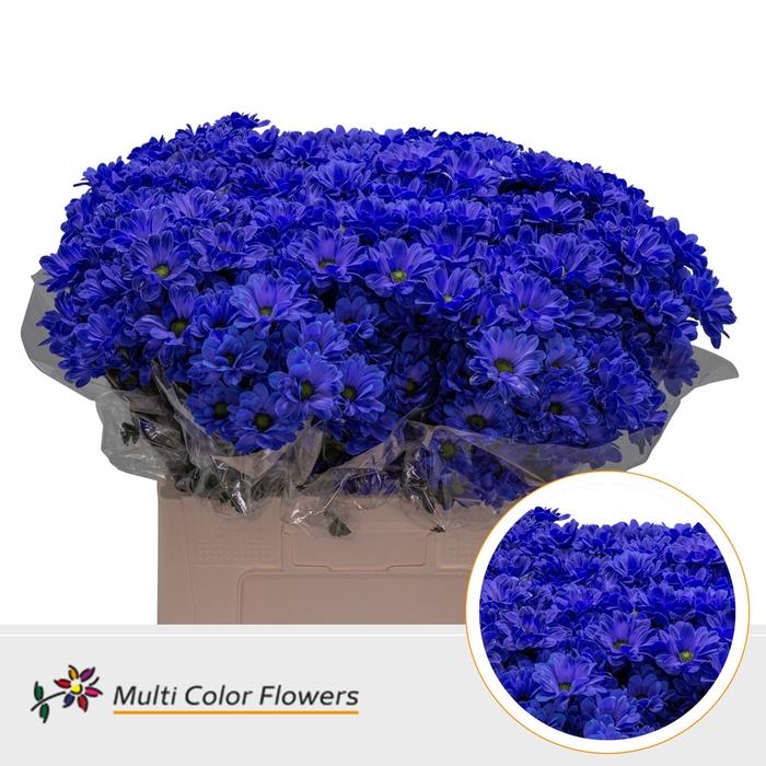 <h4>Chrys.tros Bacardi wit gekleurd Blauw donker</h4>