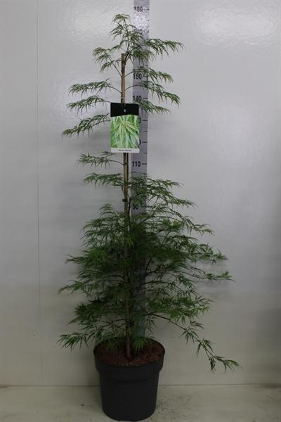 <h4>Acer palmatum 'Dissectum'</h4>
