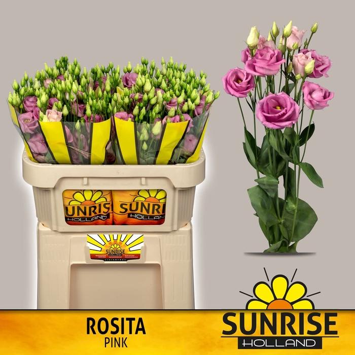 <h4>EUS G ROSI ROSE PINK</h4>