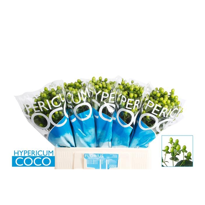 <h4>HYP COCO BAMBOO</h4>