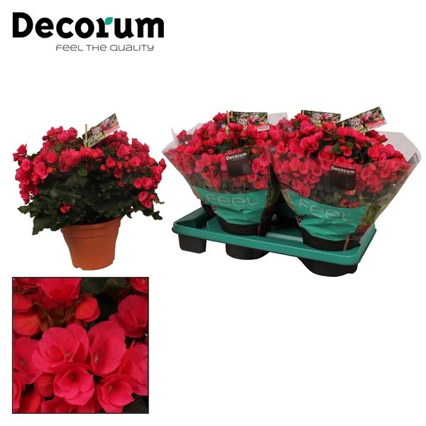 <h4>Begonia betulia ''pink''  lila</h4>