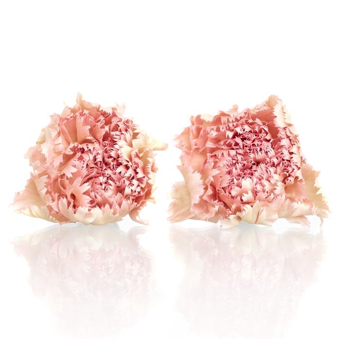 Carnation (anjer) Pink 4,5-5cm