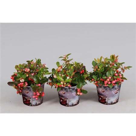 <h4>Gaultheria Big Berry Potcover</h4>