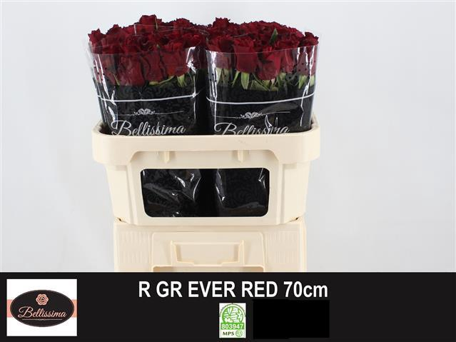<h4>R GR EVER RED</h4>