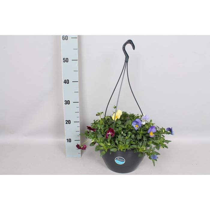 <h4>Hangpotten 27 waterreservoir Viola Coolwave Mix in pot</h4>