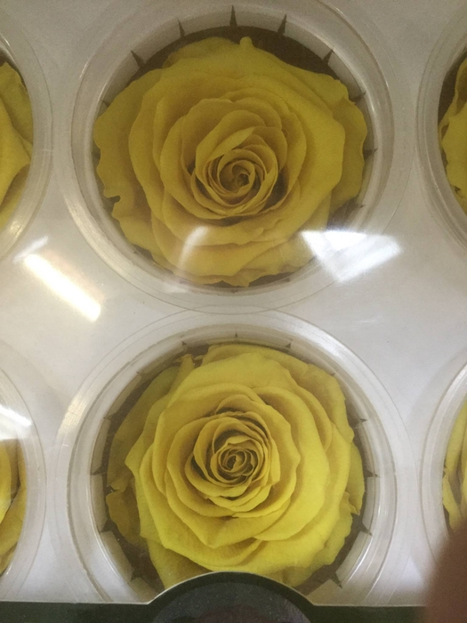 <h4>Roses Preserved YELLOW (107C)</h4>