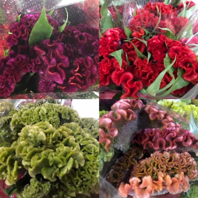 Celosia Cristata (p/bunch) Mix, P/Color Gr/Yel/Peach/Pu