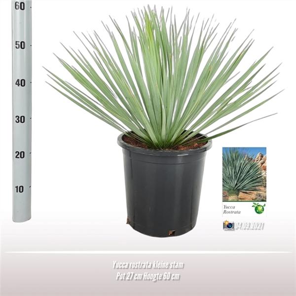 <h4>Yucca rostrata</h4>