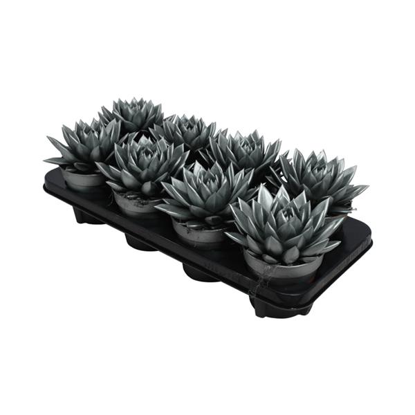 <h4>Echeveria coloured metallic grey + glitter</h4>