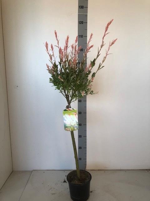 <h4>SALIX IN HAKURO NISH</h4>