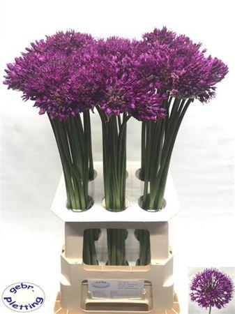 <h4>Allium Purple Sens</h4>