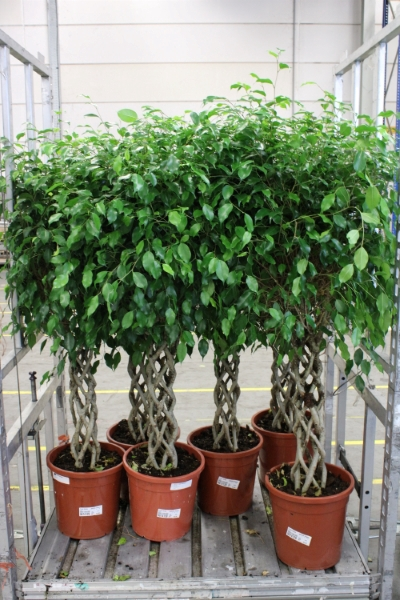<h4>Ficus benja.   ...special shapes</h4>
