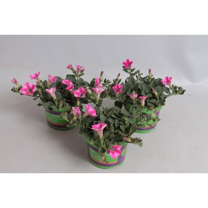 <h4>Petunia Dekko Rose Star</h4>