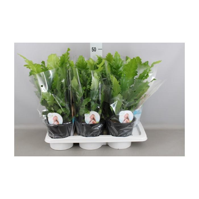 <h4>Asplenium nidus 'Campio'</h4>
