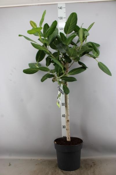 <h4>Ficus benghalensis 'Audrey'</h4>