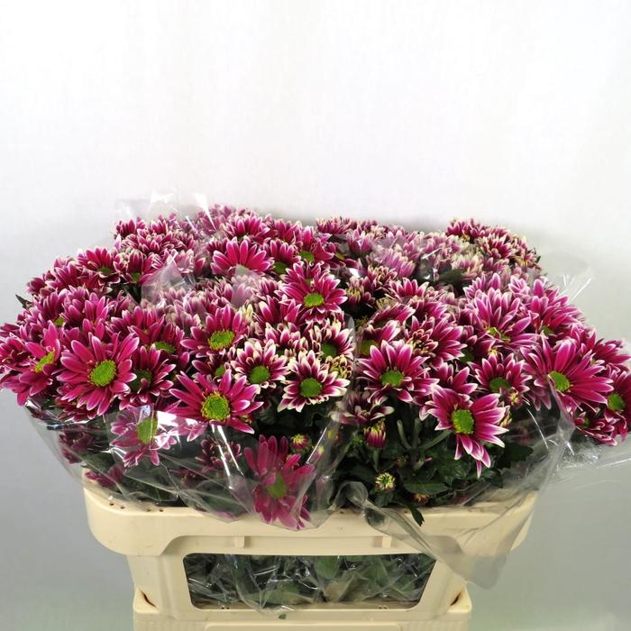 Chrysanthemum spray saba