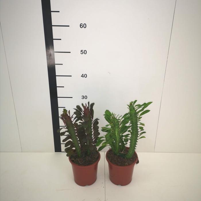 <h4>Euphorbia trigona</h4>