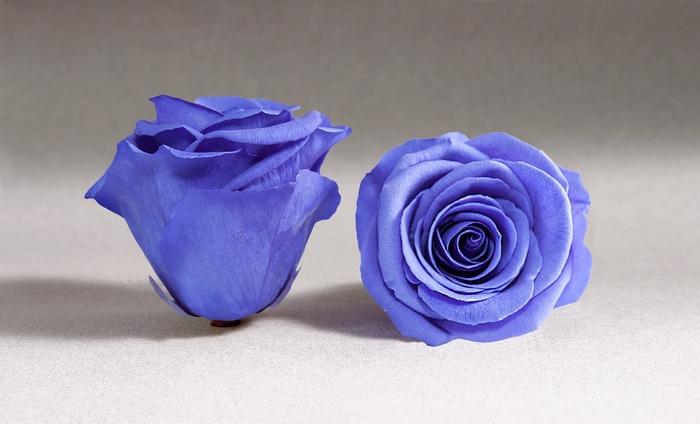 <h4>Rose stab. XL Vio-01</h4>