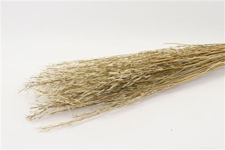 <h4>Bunch Saras Grass H100.0</h4>