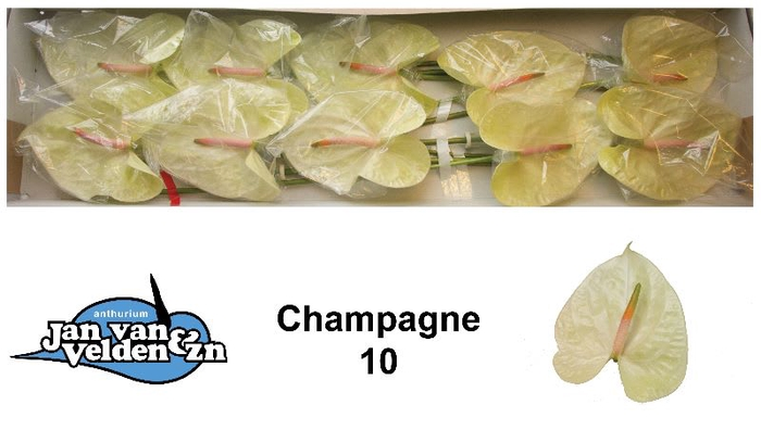 <h4>ANTH A CHAMPAGNE</h4>