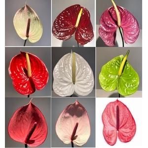 Anthurium Mix Large P/Color Wh/Pink/Red/Pu/Br/Gr