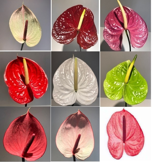 <h4>Anthurium Mix Small P/Color Wh/Pink/Red/Pu/Br/Gr</h4>