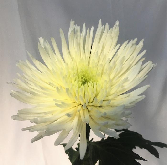 <h4>Chrysanthemums Anastasia White</h4>