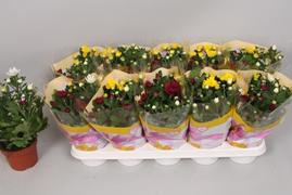 <h4>Chrysanthemum surt en maceta</h4>