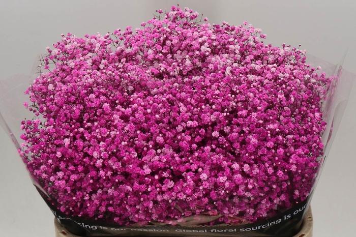 <h4>Gypsophila Kleurbehandeld Hot Pink</h4>