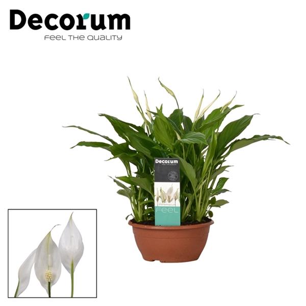 <h4>Spathiphyllum 17 cm Chopin Decorum</h4>