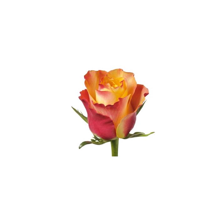 <h4>单头玫瑰 繁华</h4>