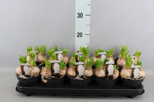 <h4>Hyacinthus orie. 'Pearl White'</h4>