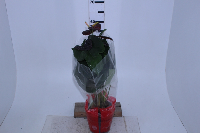 <h4>ANTHURIUM BLACK QUEEN P17</h4>