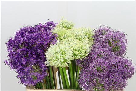 <h4>Allium Mixed In Bucket</h4>
