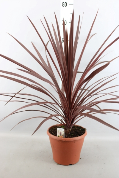 <h4>Cordyline fruti. 'Red Sensation'</h4>