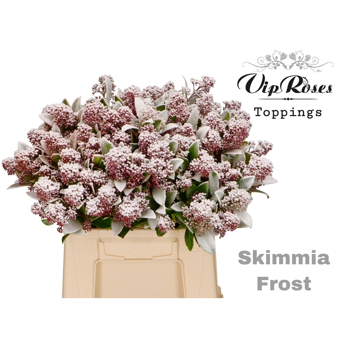 <h4>SKIMMIA FROST</h4>