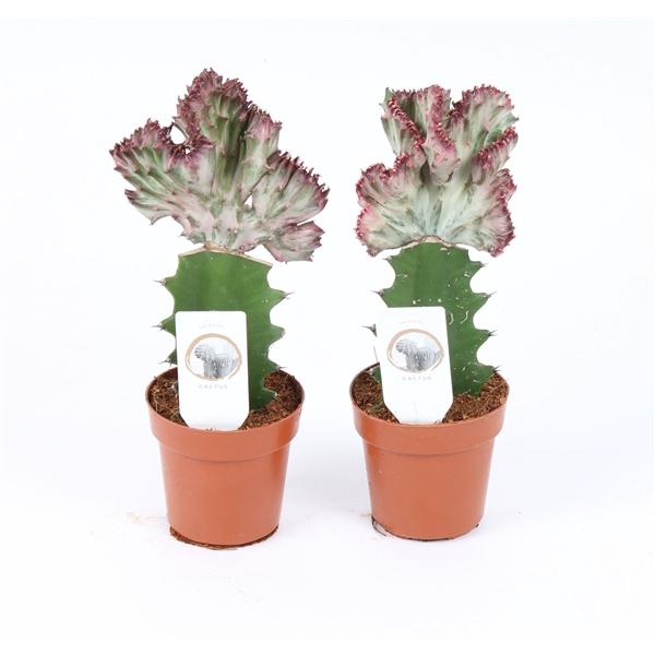 <h4>Cactus euphorbia lactea in 8,5cm pot</h4>
