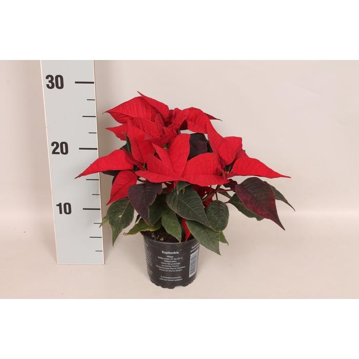 <h4>Poinsettia 10,5 cm Christmas Feelings® Merlot</h4>