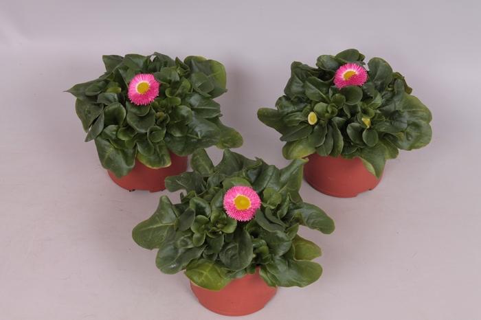 <h4>Bellis Perennis Rose</h4>
