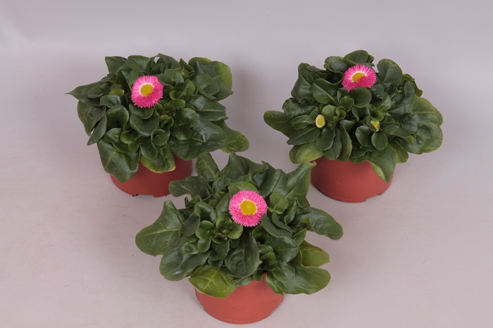 <h4>Bellis Perennis Rose</h4>
