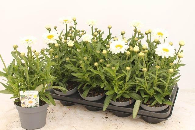 <h4>Leucanthemum Sw Daisy Jane</h4>