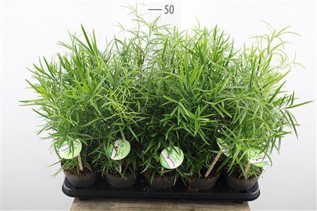 <h4>Asparagus Falcatus</h4>