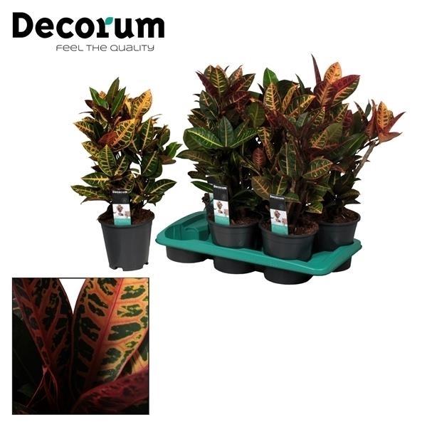 <h4>Croton Petra vertakt (Decorum)</h4>