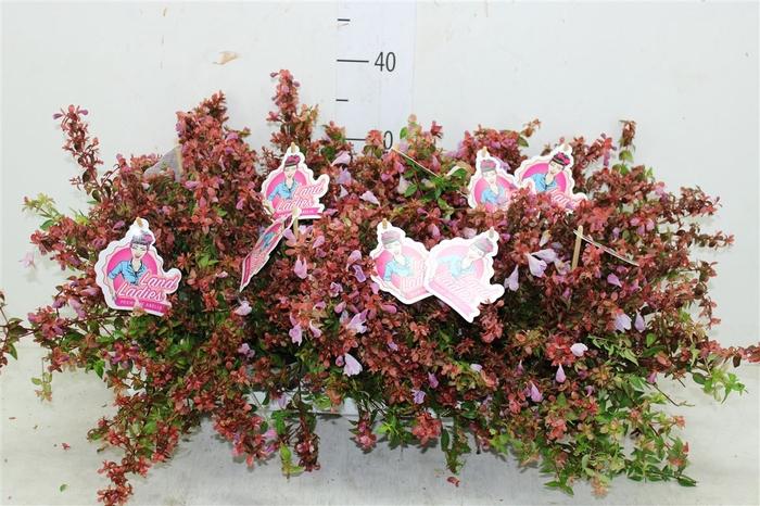 <h4>Abelia X Grandiflora Lynn Pinky Bells Paars</h4>