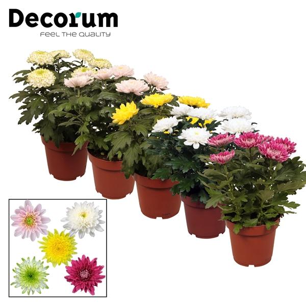 <h4>Chrysanthemum Zembla mix</h4>