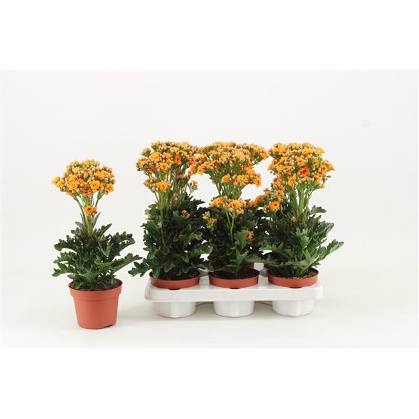 <h4>Kalanchoe Exotic orange</h4>