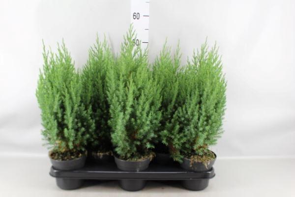 <h4>Juniperus chinensis 'Stricta'</h4>