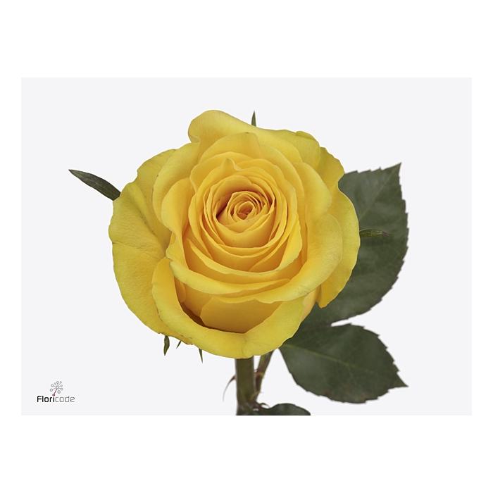 <h4>Rosa large flowered Brighton</h4>