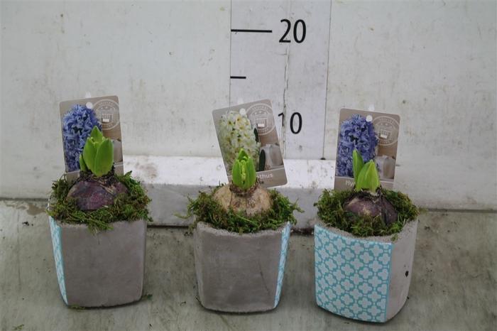 <h4>Hyacinth Mix 0923 Geluk 1pp Mos</h4>