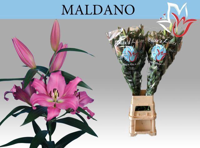 <h4>LI OT MALDANO</h4>